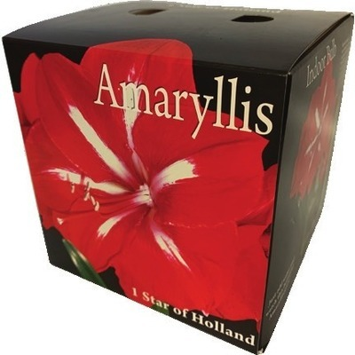 Amaryllis Bulb Kit Gift Box Available in 3 colors. Gift boxed.